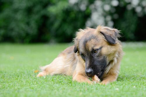 なぜ、犬は自分の手足をかむのか?考えられる原因と対策のまとめ