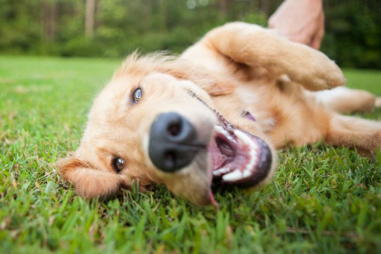【獣医師監修】犬の呼吸が早い・荒い・苦しそう・息切れしている。この症状から考えられる原因や病気は?