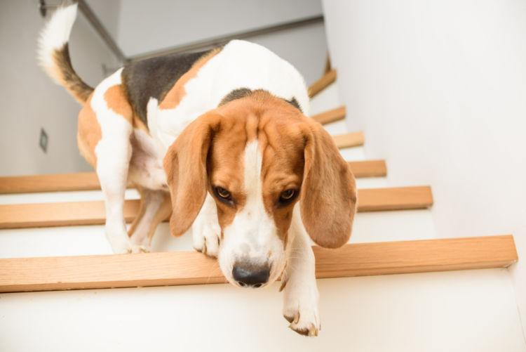 【獣医師監修】犬が階段を避ける。この症状から考えられる原因や病気は?