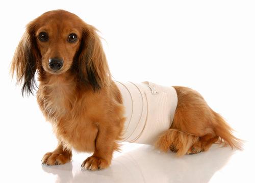犬の椎間板ヘルニア(の回復期)