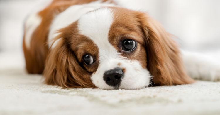 【獣医師監修】犬が血便をだしている。この症状から考えられる原因や病気は?