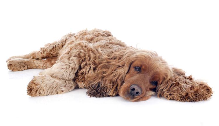 【獣医師監修】犬が粘液便を出している。この症状から考えられる原因や病気は?