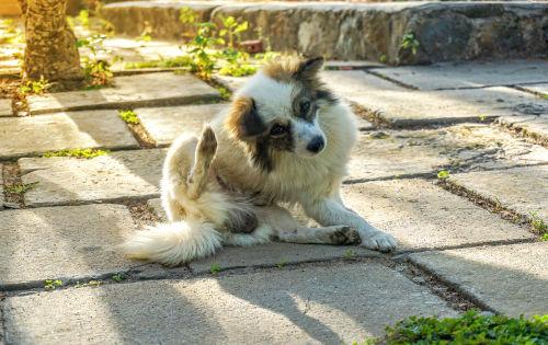 犬の肥満細胞腫