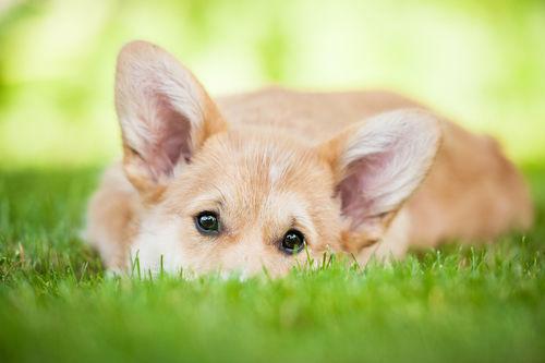 犬の皮膚組織球腫