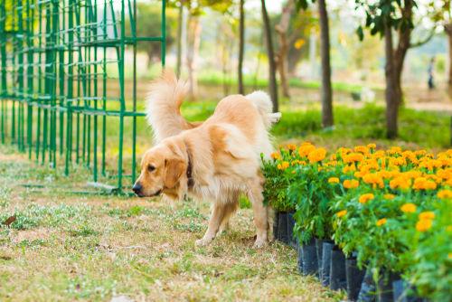 犬の細菌性膀胱炎