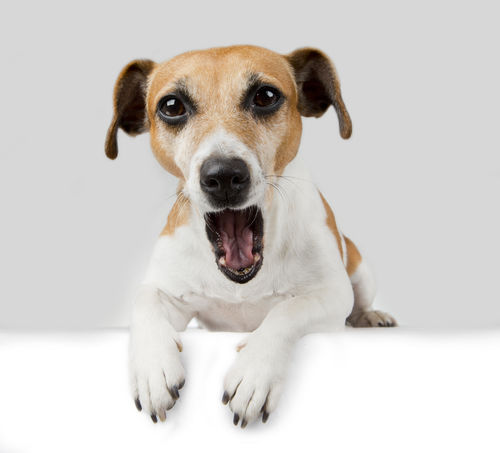 【獣医師監修】犬が口をパクパクしている。この症状から考えられる原因や病気は?
