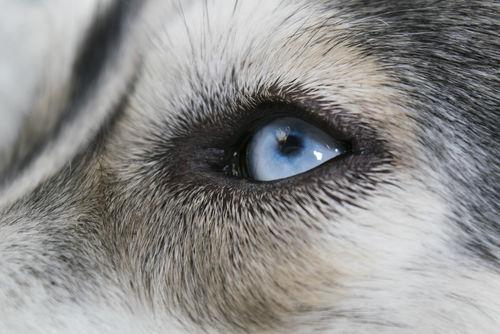 犬の角膜炎