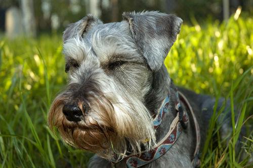 【獣医師監修】犬が激しくまばたきしている・目をしょぼしょぼさせている。この症状の原因や病気は?