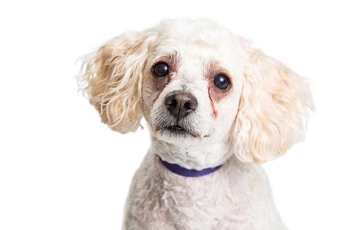 犬のぶどう膜炎
