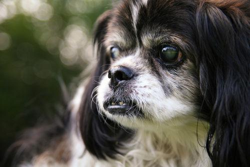 【獣医師監修】犬の目が白い。この症状から考えられる原因や病気は?