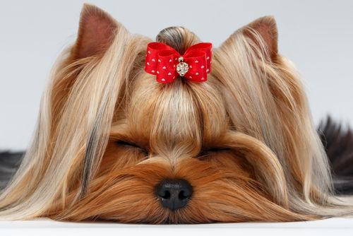 犬の角膜浮腫