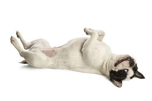 犬の特発性前庭障害