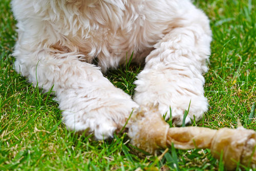 犬の免疫介在性関節炎