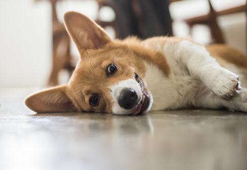 犬の変性性脊髄症(DM)