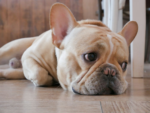 犬の股関節脱臼
