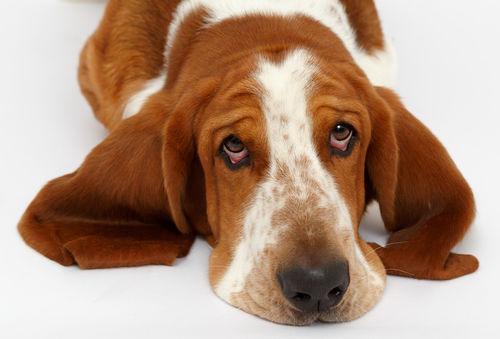 【獣医師監修】犬の目が赤い・充血している。この症状から考えられる原因や病気は?