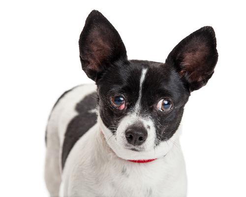 犬のマイボーム腺炎(麦粒腫、霰粒腫)