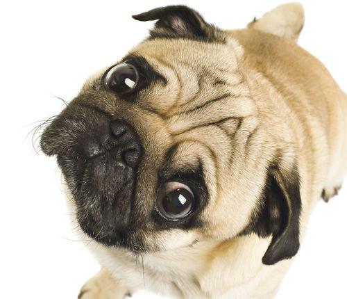 【獣医師監修】犬の目が飛び出てくる。この症状から考えられる原因や病気は?
