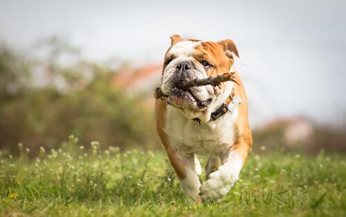 """もはや、番犬にはならない!?実は""""甘えん坊犬""""のブルドッグの飼い方"""