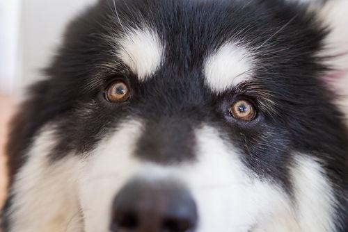 犬の緑内障