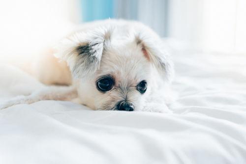 犬の眼球後部の蜂窩織炎