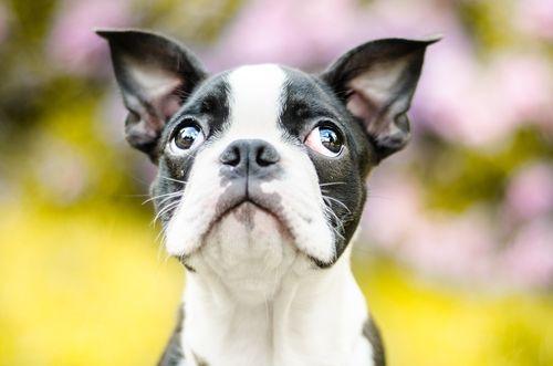 犬の髄膜腫
