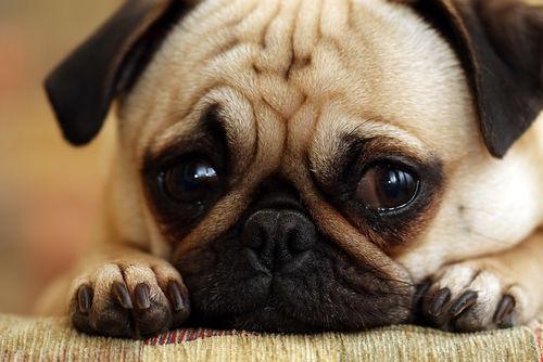 犬の乾性角結膜炎(KCS・犬のドライアイ)
