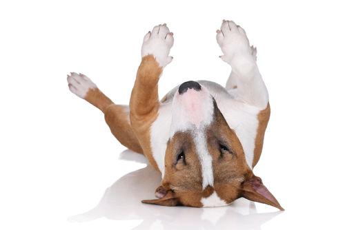 犬の線維肉腫