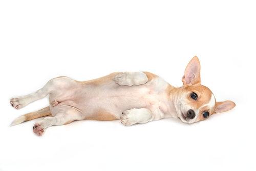 犬の前立腺肥大症
