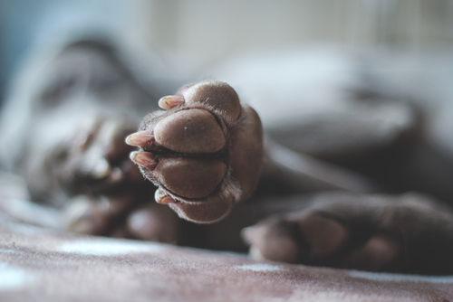 【獣医師監修】犬の足がしびれている。この症状から考えられる原因や病気は?