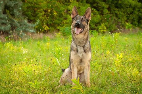 犬の変性性腰仙部狭窄症(馬尾症候群)
