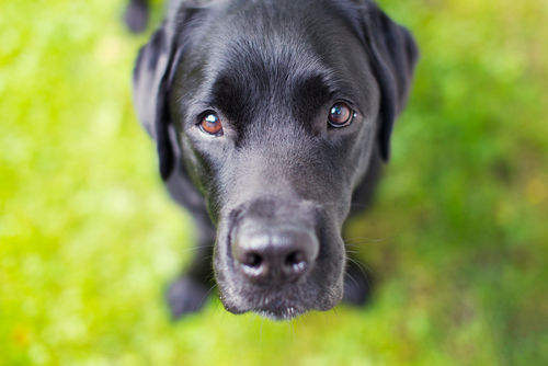 犬の副腎皮質機能低下症(アジソン病)