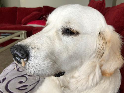 茶色の鼻水が出る犬