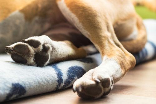 【獣医師監修】犬の足が腫れている。この症状から考えられる原因や病気は?