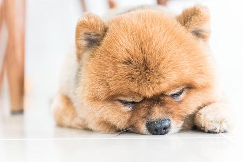 犬の脂肪腫