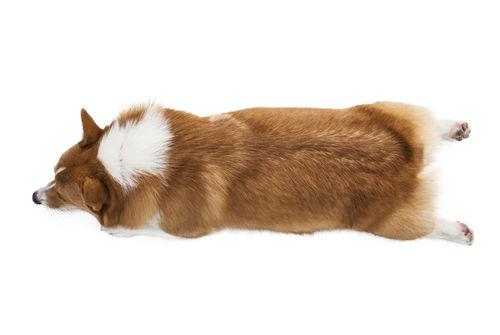 犬の椎間板(ついかんばん)ヘルニア