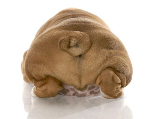 犬の前立腺肥大症(ぜんりつせんひだいしょう)