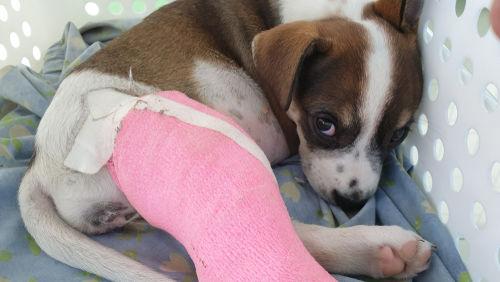 犬の骨折(骨盤骨折)