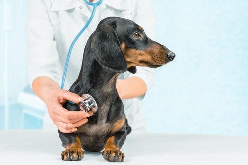 犬の炎症性結直腸ポリープ