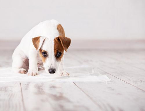 排尿障害のある犬