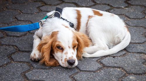 犬の結膜炎【発症しやすい犬種】