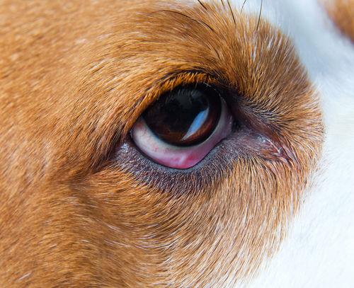 犬の結膜炎【治療方法】