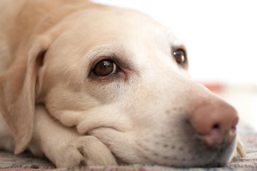 【獣医師監修】「犬のリンパ腫」原因や症状、なりやすい犬種、治療方法は?