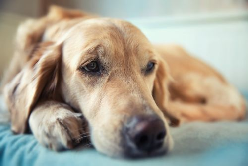 犬のリンパ腫【発症しやすい犬種】