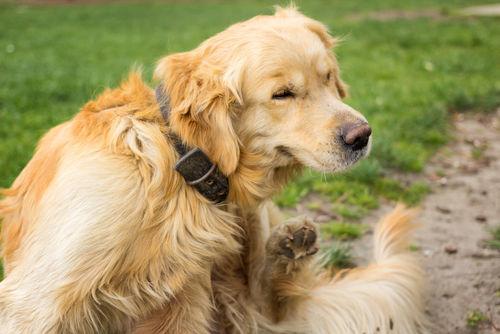 犬のアレルギー性皮膚炎