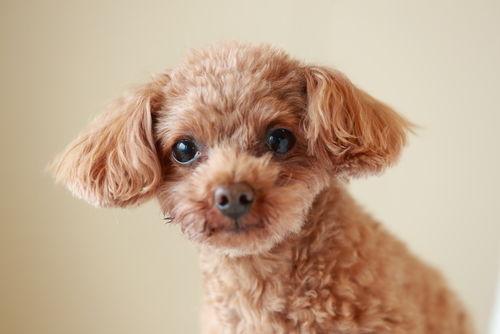 犬の乳腺腫瘍【発症しやすい犬種】