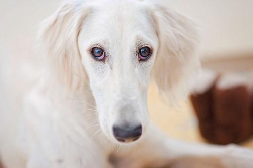 【獣医師監修】「犬のぶどう膜炎」原因や症状、なりやすい犬種、治療方法は?