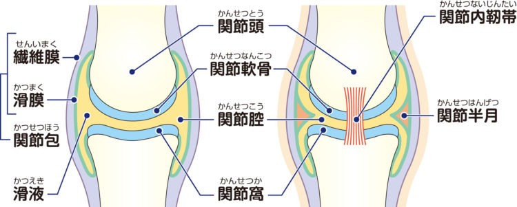 犬の膝の構造