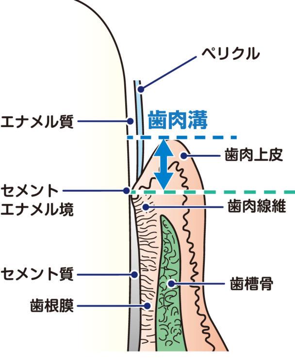 犬の歯肉の構造