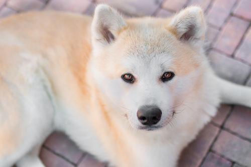 犬のぶどう膜炎【発症しやすい犬種】
